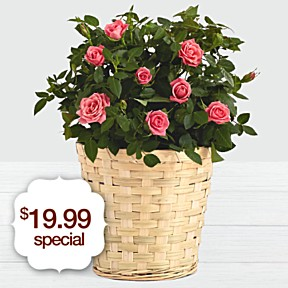 Potted Pink Roses